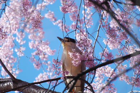 Bluejay in Pink Dogwood Tree Wall Mural Canvas