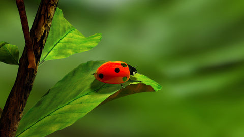 Lady Bug on a Leaf Canvas