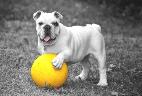English Bulldog with Yellow Ball Canvas