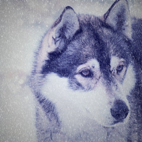 Husky in the Snow Wall Mural
