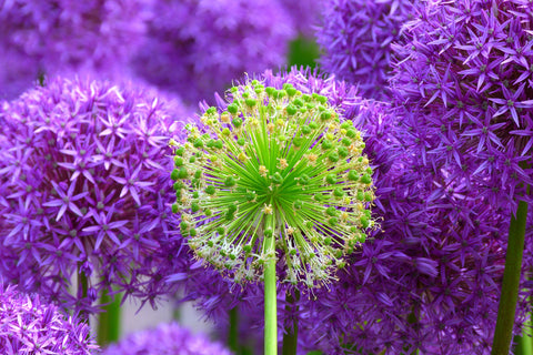 Allium Gladiator Blooming Wall Mural