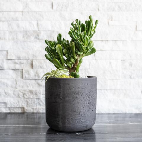 ULAH PLANTSCAPES Potted Jade Lucky Plant - Small Washed Black Pot