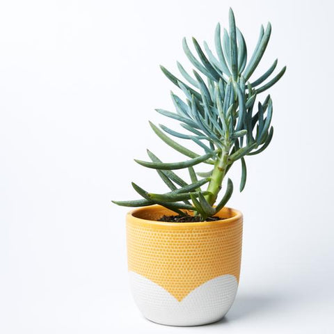 Petal Pot | Jones and Co | Mustard/White
