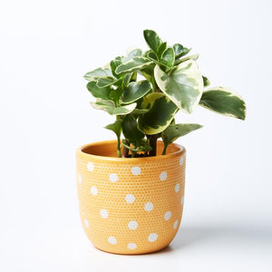 Spot Pot | Jones and Co | Mustard/White