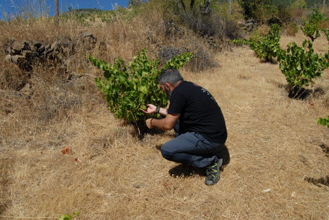 Orly inspecting a bunch of grapes on a bush vine