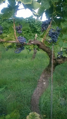 A red wine vine in the vineyard