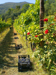 A vineyard in italy with roses to detect greenfly