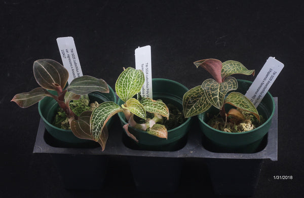 A JEWEL Orchid 3 Pack  Growers Choice