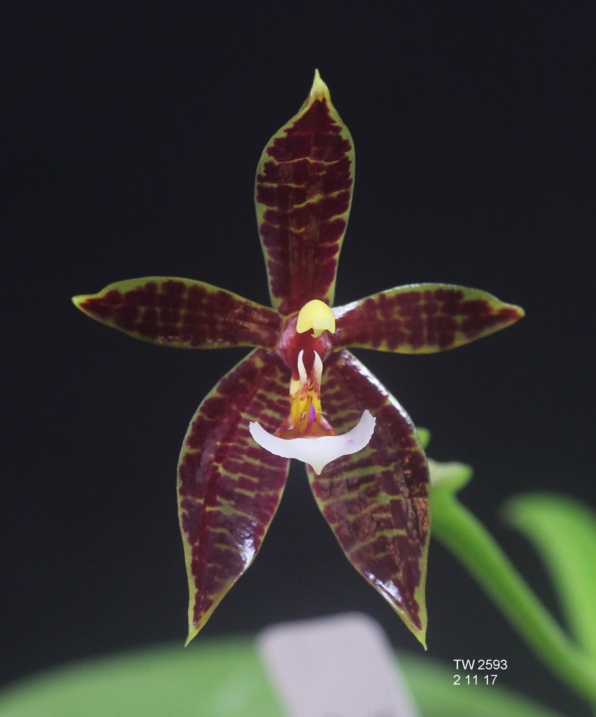 Phal. LOC Magic Panther