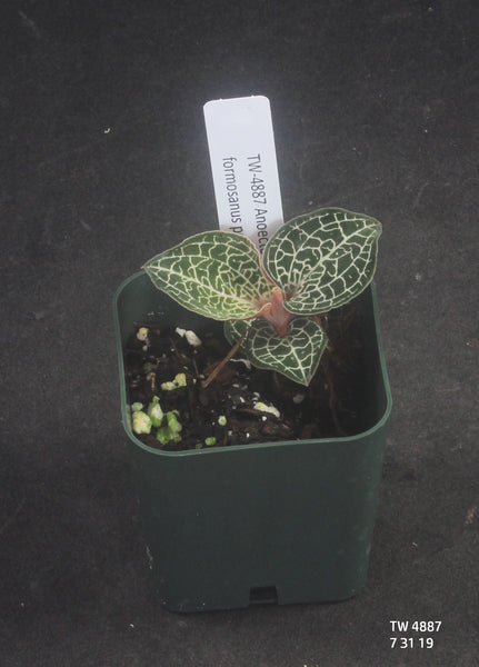 JEWEL ORCHID:  Anoectochilus formosanus polyploid