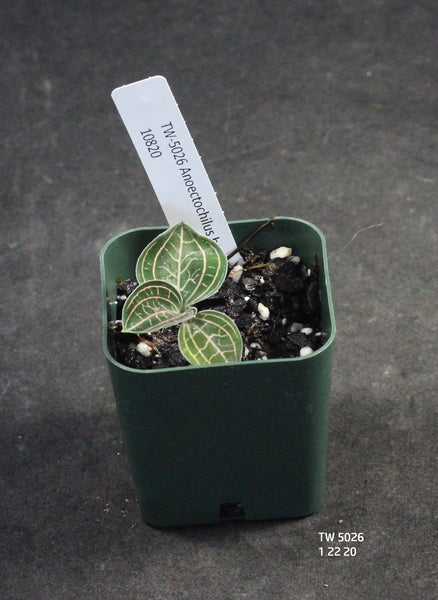 JEWEL ORCHID: Anoectochilus brevilabris