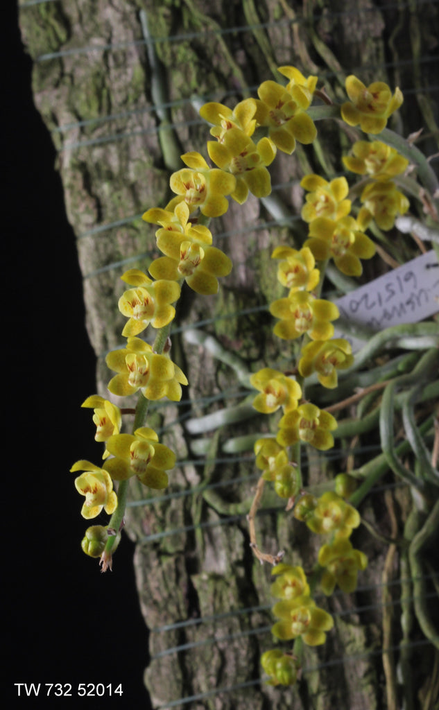 Chiloschista Usneoides Louisiana Orchid Connection