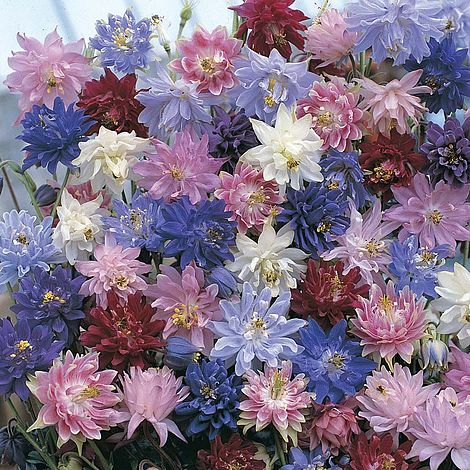 Aquilegia Nora Barlow Mixed Seeds