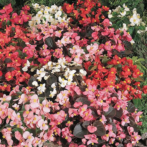 Begonia semperflorens Options Mixed