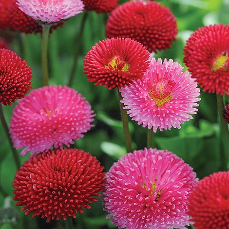 Bellis Pomponette Mixed