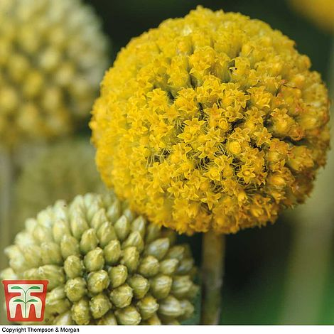 Craspedia Billy Buttons Seeds
