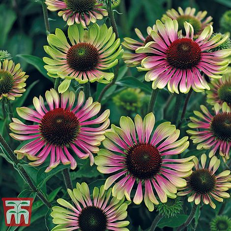 Echinacea Green Twister Seeds