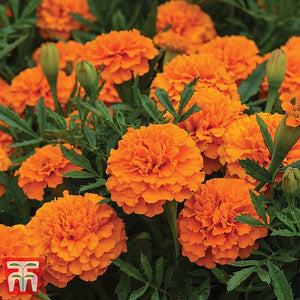 Marigold Boy O Boy Orange (French) Seeds