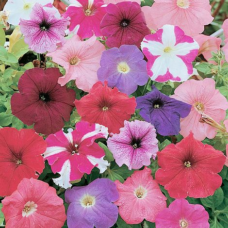 Petunia Rainbow Mixed F2 Hybrid Seeds