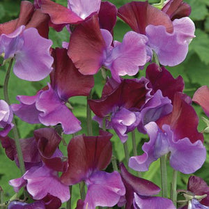 Sweet Pea Purple Pimpernel Seeds