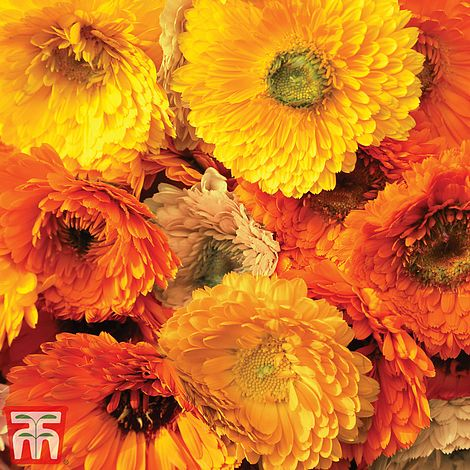 Calendula Art Shades Mixed