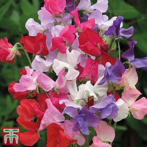 Sweet Pea Early Mammoth Mixed Seeds