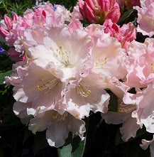 Rhododendron Yakushimanum Hybrids 3L (Select Variety)