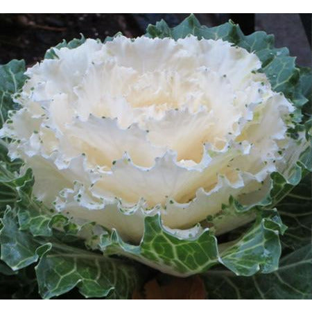 Cabbage Osaka White