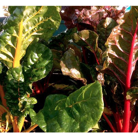 Chard Bright Light Mix