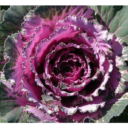 Cabbage Pigeon Red