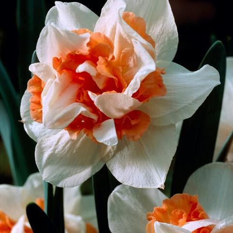 'Replete' ~ Double Daffodil
