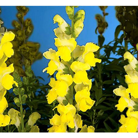 Snapdragons Arrow Yellow