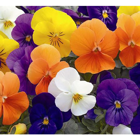 Viola Penny All-Season Mix