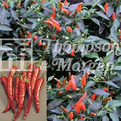 Pepper Chilli Demon Red