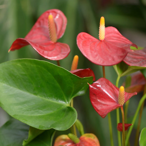 Anthurium piccolo®