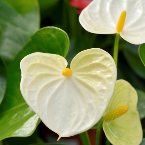 Anthurium (white)