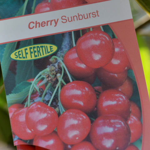 Cherry (Prunus) 'Sunburst'