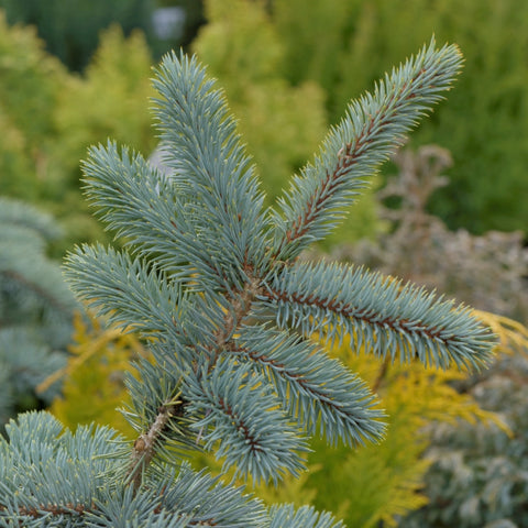 Picea Pungens Kosteri