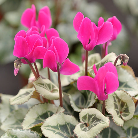 Cyclamen (indoor) – cerise pink