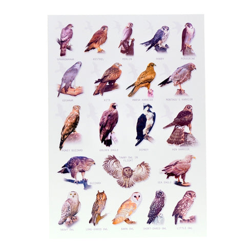 Birds of prey giant postcard or poster