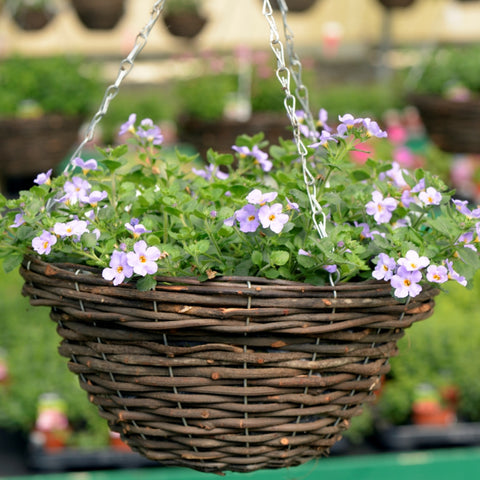 Bacopa 'Abunda Colossal' ready-made hanging basket