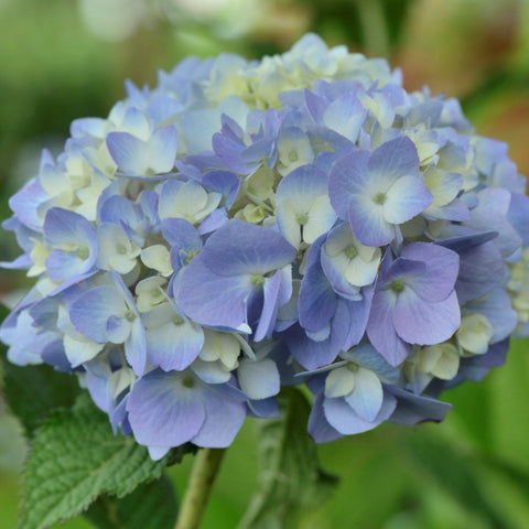 Hydrangea 'Endless Summer® Blue'