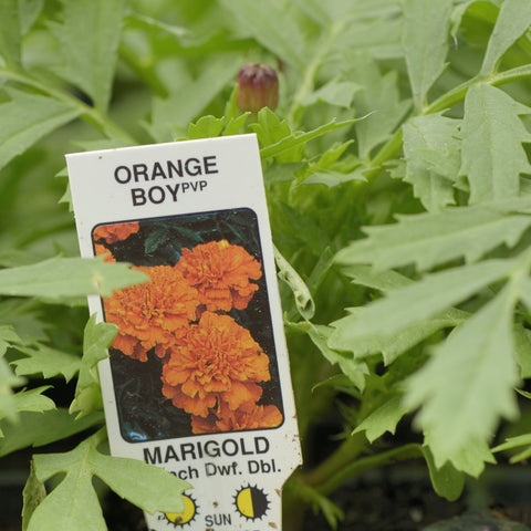 Marigold 'Orange Boy'