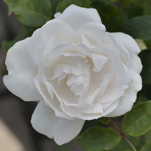 Rose 'Madame/Mme Alfred Carriere'