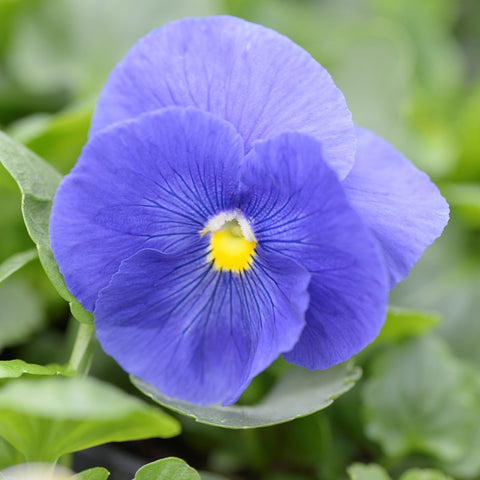 Winter pansy – True Blue
