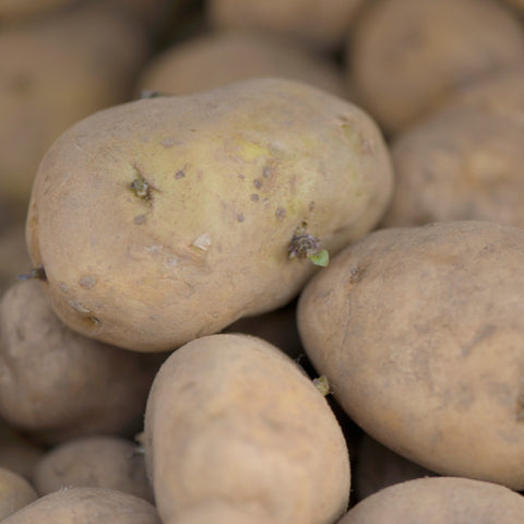 Arran Pilot – first early seed potato