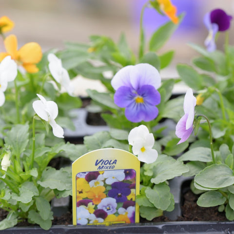Viola – Mixed Colours