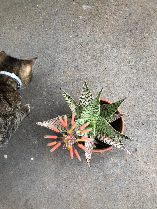 Update: Spider mites and aloe flowers
