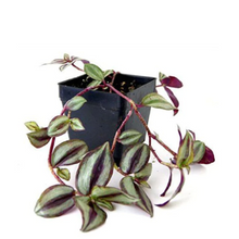 Load image into Gallery viewer, Tradescantia zebrina - Wandering Jew