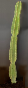 Cereus hexagonus - lady of the night cactus - Always Greener